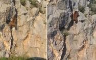 Αρκούδα με εκπληκτικές ικανότητες αναρρίχησης σε βράχο (video)