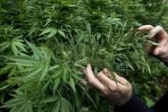 Συνελήφθη καλλιεργητής ναρκωτικών στο Αγρίνιο