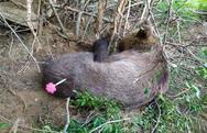 Απελευθερώθηκε αρκούδα από παγίδα στην Έδεσσα