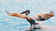 Ιωάννινα: Νεκροί αργυροπελεκάνοι στη λίμνη Παμβώτιδα