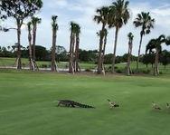 Πάπιες κυνήγησαν αλιγάτορα μέσα σε γήπεδο του γκολφ (video)