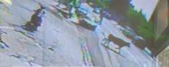 Λαμία - Ταύρος έτρεχε μέσα στην πόλη (video)