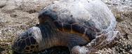 Νεκρή θαλάσσια χελώνα στην παραλία του Ρίου της Πάτρας - Δείτε βίντεο