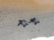 Από δύο φωλιές 'ξεμύτησαν' τα πρώτα χελωνάκια του 2019 στον ΚυπαρισσιακόΚόλπο