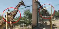 Πήδηξε φράκτη ζωολογικού κήπου για να πάει βόλτα με καμηλοπάρδαλη! (video)