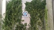 Καλλιεργούσε στο μπαλκόνι του δενδρύλλια κάνναβης ύψους περίπου τεσσάρων μέτρων