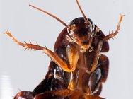 Οι κατσαρίδες λατρεύουν να μπαίνουν... στα ανθρώπινα αυτιά