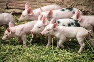 H Σερβία ανέφερε τέσσερις περιπτώσεις πανώλης των χοίρων