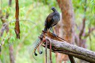 Πτηνό μιμείται ήχους (video)