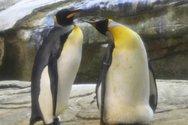 Δύο ομοφυλόφιλοι πιγκουίνοι... κλωσούν αυγό (video)