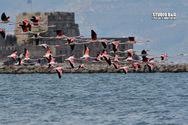 Έκρυψαν το Μπούρτζι δεκάδες φλαμίνγκο που κατέφθασαν στο Ναύπλιο (φωτο)