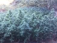 Συνελήφθησαν τρεις καλλιεργητές ναρκωτικών σε ορεινή περιοχή της Ηλείας (pics+video)