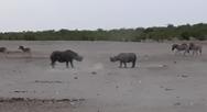 Άγρια μονομαχία ανάμεσα σε δύο αρσενικούς μαύρους ρινόκερους (video)