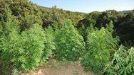 Δυτική Ελλάδα: 'Tσάκωσαν' καλλιεργητή ναρκωτικών στην Ανδραβίδα