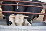 Επιστήμονες στις ΗΠΑ δημιούργησαν ταύρους χωρίς κέρατα