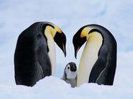 Σήμα κινδύνου για τον πληθυσμό των αυτοκρατορικών πιγκουίνων