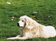 Ηλεία: Θανάτωσε τέσσερα τσοπανόσκυλα