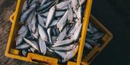Δέσμευσαν 186 κιλά ακατάλληλα ψάρια στην ιχθυόσκαλα στο Κερατσίνι
