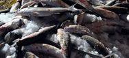 Πειραιάς: Kατασχέθηκαν 200 κιλά ακατάλληλα ψάρια και καβούρια