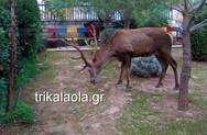 Ελάφι έκανε βόλτες στους Θρακομακεδόνες (video)