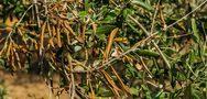 Αχαΐα: Στις 25 Νοεμβρίου η ημερίδα για τo επικίνδυνο φυτοπαθογόνο βακτήριο Xylella fastidiosa