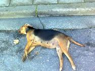 Ηλεία: Έδωσαν σε σκύλο δηλητηριασμένη τροφή