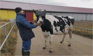 Στη Ρωσία έβαλαν γυαλιά VR σε αγελάδες για να βγάζουν καλύτερο γάλα