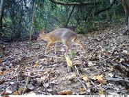 Επιστήμονες εντόπισαν ζώο που νόμιζαν ότι έχει εξαφανιστεί (video)