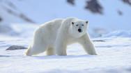 Ρωσία - 56 πολικές αρκούδες περιμένουν τον σχηματισμό του θαλάσσιου πάγου