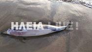 Ένα νεκρό δελφίνι ξέβρασε η θάλασσα στο Κατάκολο (φωτο)