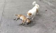 Σκύλος προσπαθεί να 'ξυπνήσει' τον νεκρό φίλο του (video)