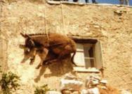 Νάξος: Ξέσπασε η εισαγγελέας για το βάναυσο έθιμο με τα γαϊδούρια!
