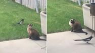 Καρακάξα... τρολάρει γάτα (video)