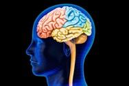 Υπάρχει αρσενικός και θηλυκός εγκέφαλος;