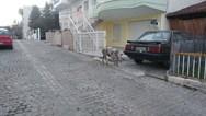 Γουρουνάκι το 'έσκασε' και άρχισε να κάνει βόλτες στην Κοζάνη (video)