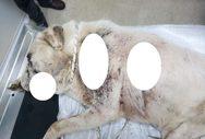Φρίκη στην Νεάπολη Αγρινίου - Πυροβόλησαν σκύλο στο πρόσωπο (φωτό)