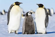 H γλώσσα των πιγκουίνων μοιάζει με εκείνη των ανθρώπων