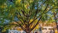 Ποιο είναι το 'ερωτευμένο' δέντρο που διεκδικεί πρωτιά σε ευρωπαϊκό διαγωνισμό
