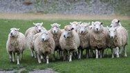 Βρετανία - Κτηνοτρόφος χτυπούσε με γροθιές τα πρόβατά του