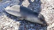 Πάτρα - Νεκρή φώκια ξεβράστηκε στο Μονοδένδρι (φωτο)
