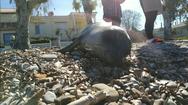 Dead seal - Πώς η προσδοκία μετατράπηκε σε θλίψη στα Βραχνέικα (video)