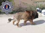 Ισπανία: Κούρεψε σκύλο σαν λιοντάρι και προκάλεσε πανικό