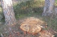 Κρούσματα παράνομης υλοτόμησης λόγω... κορωνοϊού στο Κιλκίς