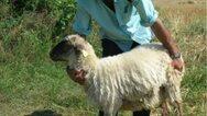 Ηλεία: Έκλεψε 14 πρόβατα και 8 κοτόπουλα