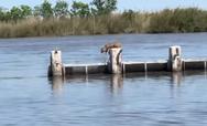 Λύγκας κάνει ένα απίστευτο άλμα (video)
