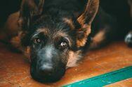 Οι Βρετανοί ερευνούν αν οι σκύλοι μπορούν να ανιχνεύσουν την Covid-19