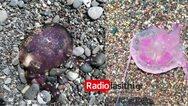 Κρήτη: Ασυνήθιστο είδος τσούχτρας στις παραλίες