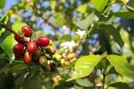 Κολομβία: Ο κορωνοϊός 'απειλεί' τη συγκομιδή του καφέ