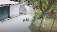 Μεθυσμένα αρκουδάκια, στους δρόμους του Μετσόβου (video)