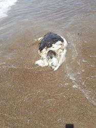 Πάτρα: Eντοπίστηκε νεκρή θαλάσσια χελώνα στην Πλαζ (φωτο)